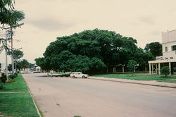 The Big Tree National Monument cape fig tree is a prominent feature in downtown Kabwe, Zambia.